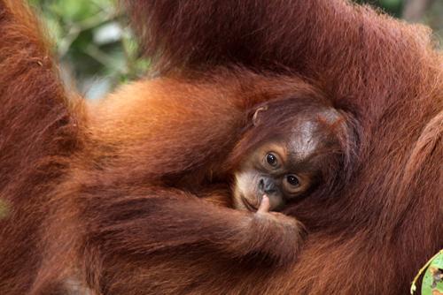 mna-orangutan.jpg