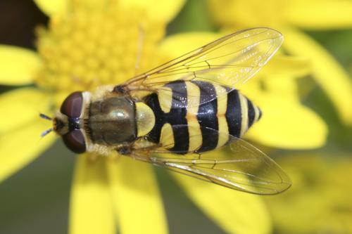 mna-sept-hoverfly1.jpg