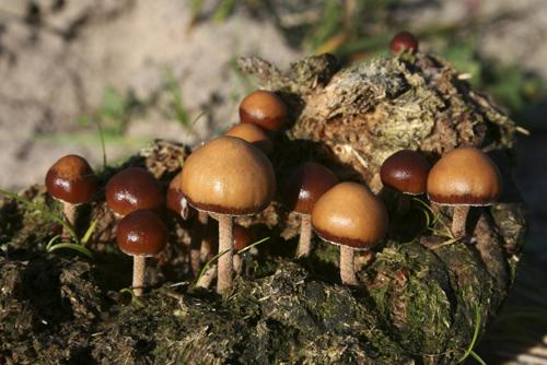 mna-freshfield-dung-fungi1.jpg