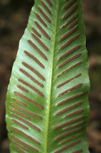 mna-trowbarrow-hartstongue-fern1.jpg