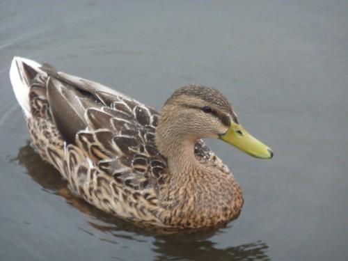 pride-mooching-duck.jpg