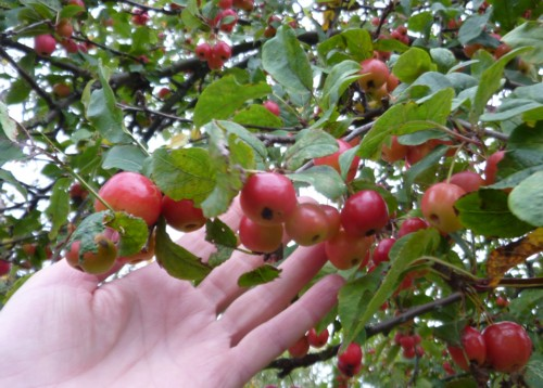 speke-crab-apples.jpg