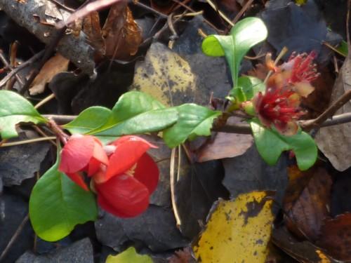 birkenhead-quince.jpg