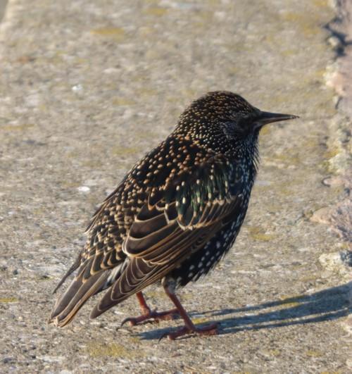 hightown-starling.jpg