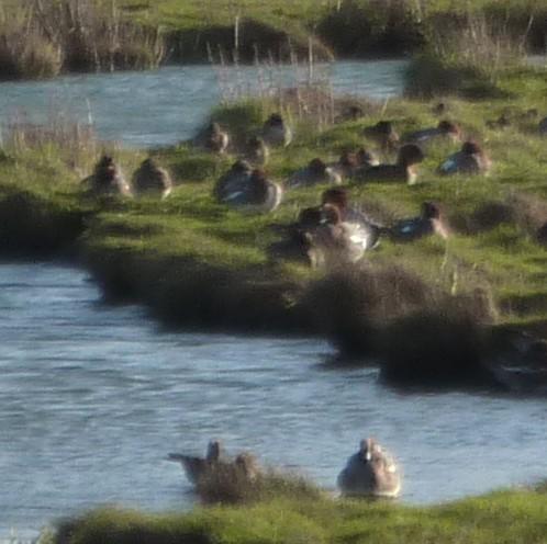 marshside-wigeon.jpg