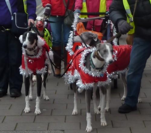 chester-christmas-greyhounds.jpg