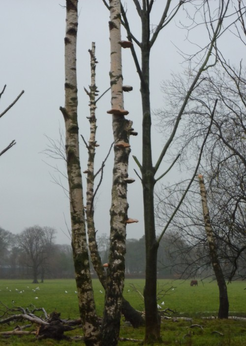 croxteth-birch-and-fungi.jpg