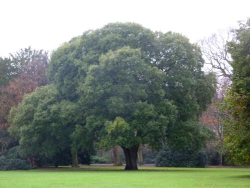 croxteth-lucombe-oak.jpg