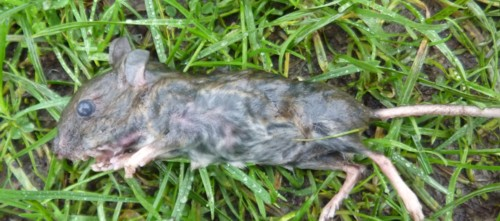 croxteth-mouse.jpg
