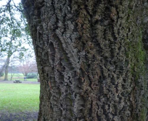 croxteth-oak-bark.jpg
