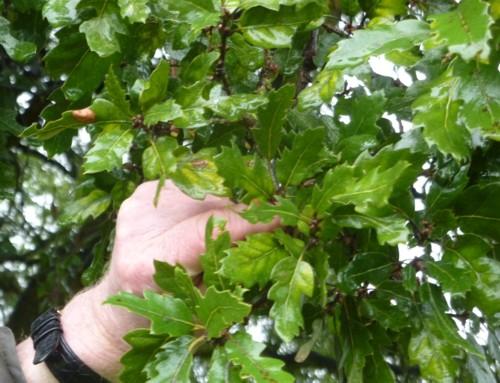 croxteth-oak-foliage.jpg