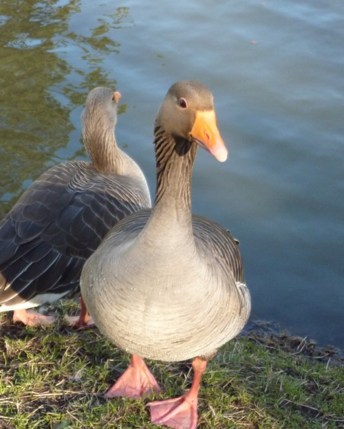 04-hesketh-park-greylag.jpg