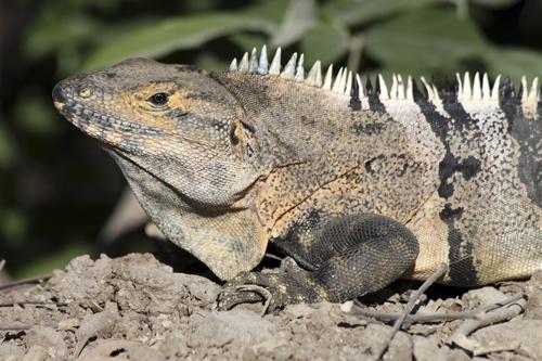 mna-costa-rica-black-iguana2.jpg