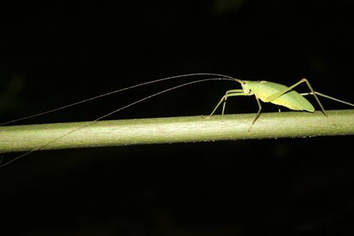 mna-costa-rica-cricket1.jpg