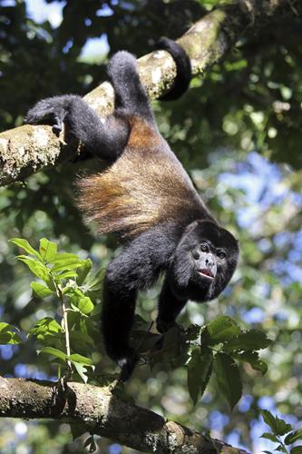 mna-costa-rica-howler-monkey1.jpg