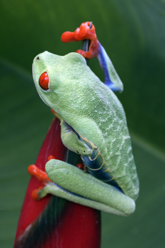 mna-costa-rica-red-eyed-tree-frog1.jpg