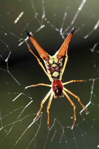 mna-costa-rica-spiky-spider2.jpg