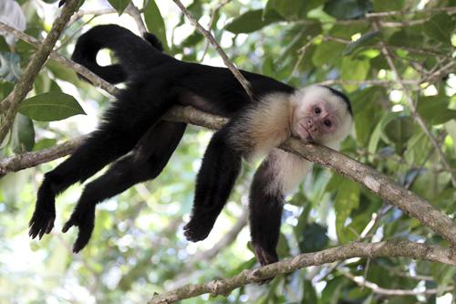 mna-costa-rica-white-faced-capuchin1.jpg