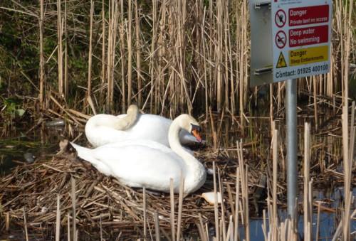 08-sugar-brook-swans.jpg