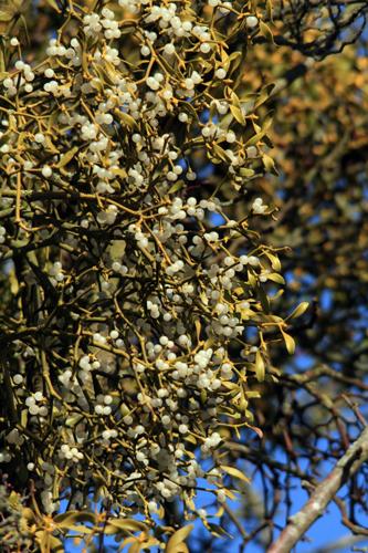 mna-chris-derri-mistletoe1.jpg