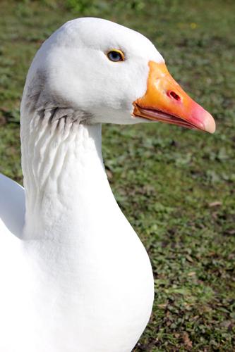 mna-white-goose1.jpg