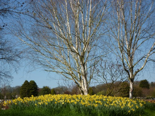 09-landican-birch-and-daffs.jpg