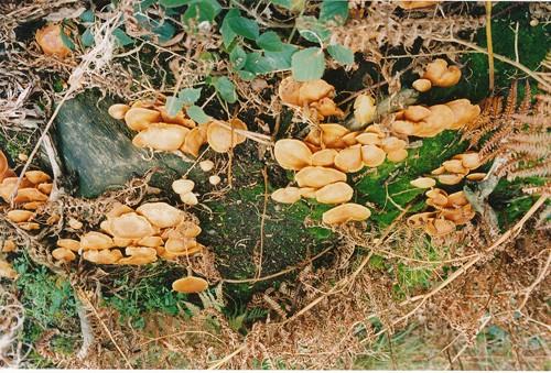 2-clitocybe-vermicularis-ainsdale.jpg