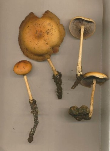 hypholoma-tuberosum-reduced.jpg