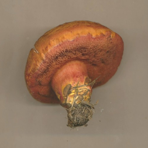rubinoboletus-rubinus-liverpool-reduced.jpg