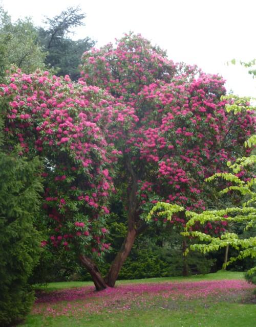 10-calderstones-rhododendron.jpg