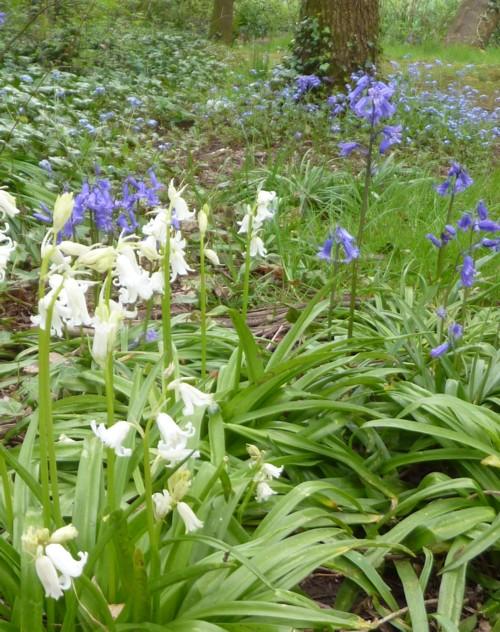 11-taylor-park-bluebells.jpg