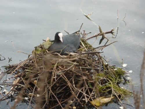 11-taylor-park-coot.jpg
