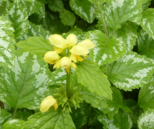 11-taylor-park-yellow-archangel.jpg