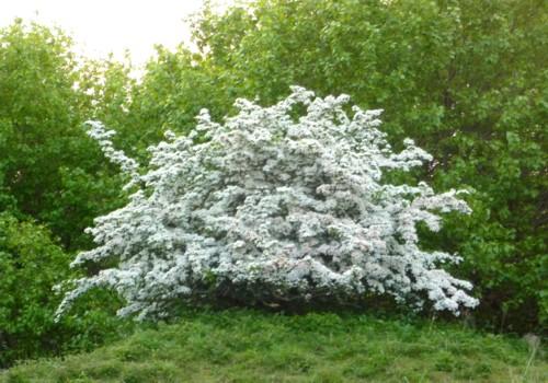 mna-1-may-blossom.jpg
