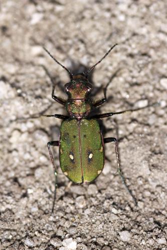 mna-dovestones-green-tiger-beetle1.jpg