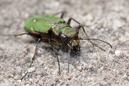 mna-dovestones-green-tiger-beetle2.jpg