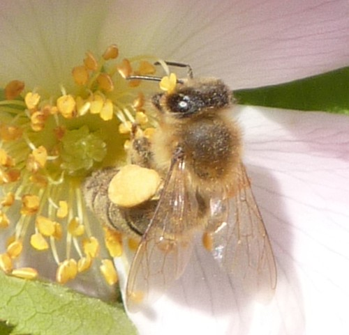 15-litherland-bee-on-dog-rose.jpg