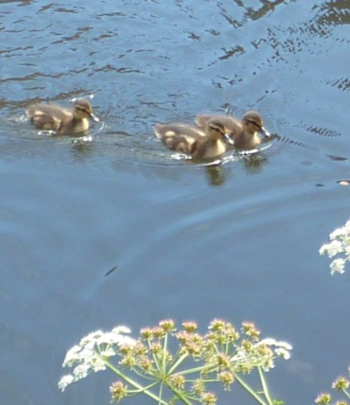 15-litherland-ducklings.jpg