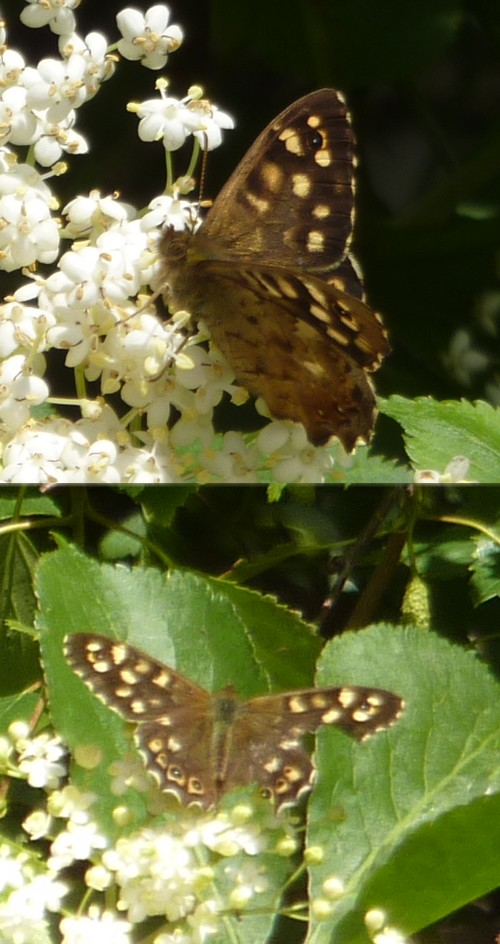 15-litherland-two-speckled-woods.jpg