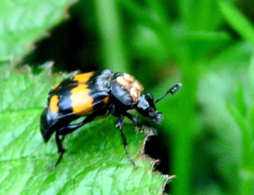 cabin-hill-sexton-beetle-reduced.jpg