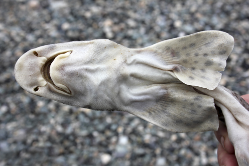 mna-anglesey-lesser-spotted-dogfish2.jpg