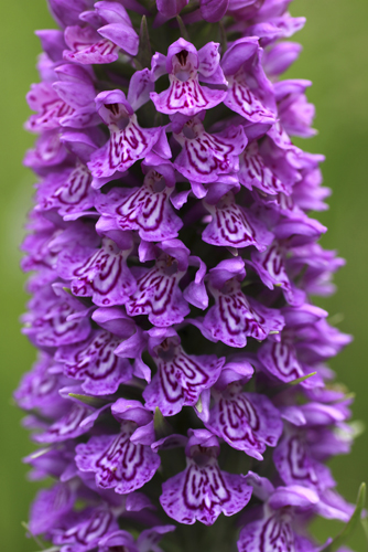 mna-anglesey-marsh-orchid1.jpg