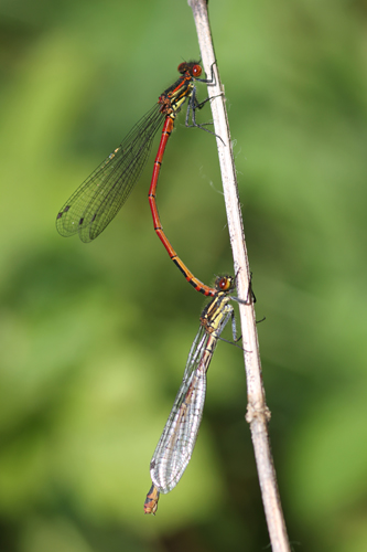 mna-brockholes-large-red-damsel1.jpg