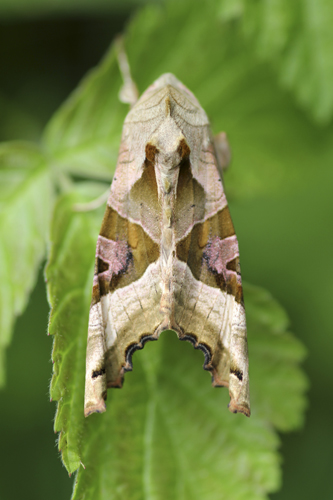 mna-carnforth-angle-shades-moth1.jpg