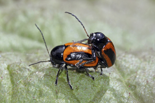 mna-gaitbarrows-mating-beetles1.jpg