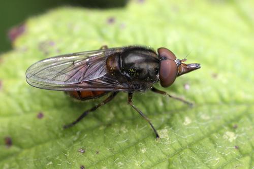 mna-hoverfly-rhingia-campestris1.jpg