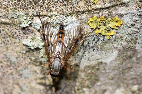 mna-snipe-fly1.jpg