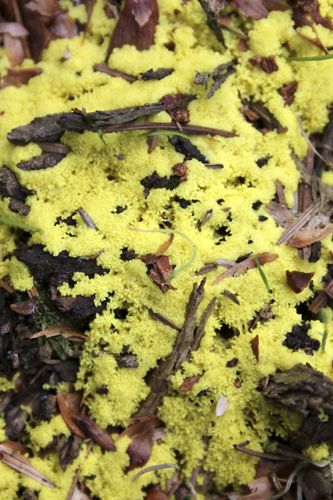 mna-wales-dog-vomit-slime-mould2.jpg