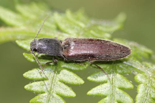 mna-worthington-lakes-click-beetle1.jpg