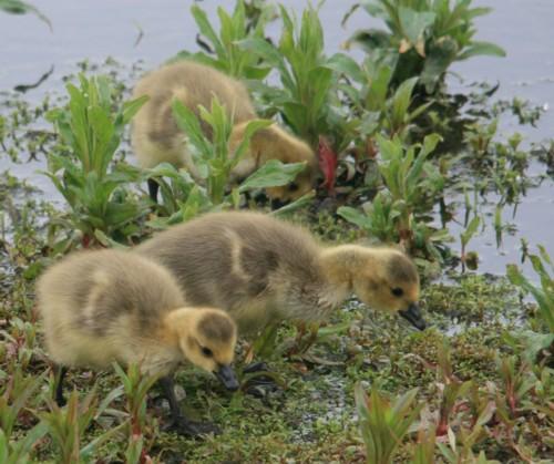 woolston-eyes-canada-goslings-reduced.jpg